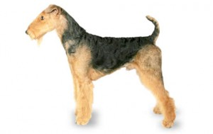 airedale terrier dog breed chart
